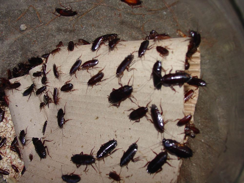 mass-of-oriental-cockroaches_2592x1944