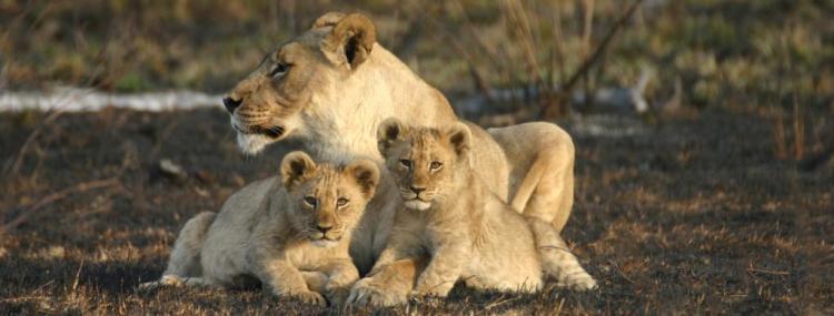 south-africa-safari-holiday-jamala-lions